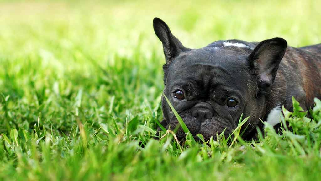 Pugs and French and British bulldogs can cost twice as much to insure as other breeds.