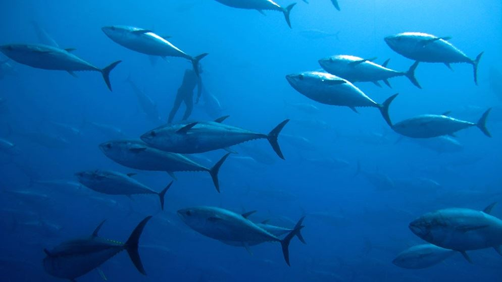 Which canned tuna is sustainable meat fish and eggs for Most sustainable fish