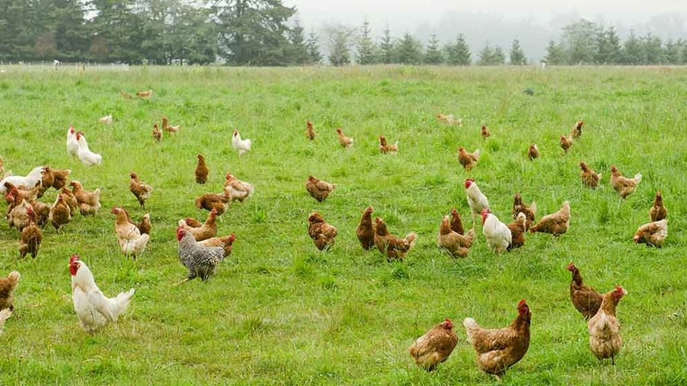 Is Free Range Chicken The Real Deal