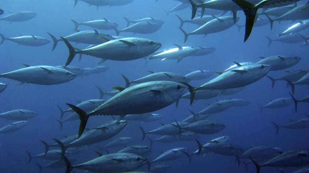 Coles 39 canned yellowfin tuna is it sustainable fish for What do tuna fish eat